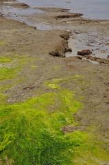 Seaweed on Muddy Shore 1 (Amaury Laporte) Tags: capecod massachusetts northamerica usa unitedstates seashore coast