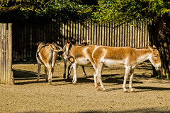 donkeys - augsburg zoo (relaxedhothead) Tags: apsc donkey fuji xe2 augsburg zoo jpeg zoom lens lightroom outdoor photoshop raw xc 50230 tier esel