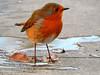 Curious Robin! (macfudge1UK) Tags: nature 2016 avian bird britishbird britishbirds england fauna gb greatbritain oxfordshire oxon rspbgreenstatus uk wildlife ©allrightsreserved bbcspringwatch autumn nikon coolpix coolpixp610 p610 nikoncoolpixp610 britain naturethroughthelens specanimal alittlebeauty coth