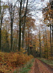 09-IMG_7034 (hemingwayfoto) Tags: buche buchenwald freizeit herbst herbstlaub mittelgebirge november taunus wald wanderung weg