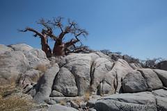 38-Botswana_2016 (Beverly Houwing) Tags: africa baobab botswana boulders desert kalahari kubuisland makadigkadipans rocks saltpan tree