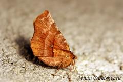 molljac, Plešivica (mdunisk) Tags: ranotrn seleniadentaria moljci leptir leptiri moljac geometridae insekt kukac kukci parkprirodezumberackosamoborskogorje plešivica samoborskogorje rude klake terihaji bukovje podvrškobukovje