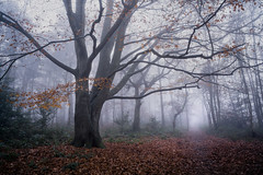 Horsford Woods 06/12/2016 (Matthew Dartford) Tags: eastanglia a7 a7rii autumn batis bokeh creapy fog foggy happisburgh horsford mist misty morning norfolk sony spooky tree
