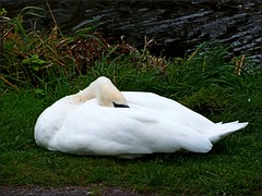 Newport Shropshire canal 111011old photos Liz Callan (25) (LIZ CALLAN) Tags: newport shropshire canal dog bordercollie grass water swans cygnets bridges paths waterlilies lizcallan lizcallanphotograph lizcallanphotography trees outside landscape