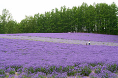 FARM TOMITA (yiming1218) Tags:   lavender farm furano japan hokkaido flower bokeh plant nature      tomita sony gm g master 2470mm sel2470gm ilce7rm2 a7r2 a7rm2 architecture japanese landscape