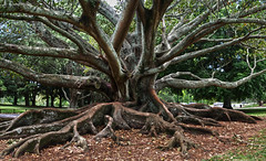 auckland heavy roots 3a 4p (Bilderschreiber) Tags: tree roots old alter baum park auckland new zealand neuseeland wurzeln holz wood