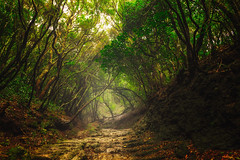 Tenerife Cloud Forest (NicoTrinkhaus) Tags: tenerife teneriffa spain espana spanien canary islands forest woods path light clouds mist mysterious