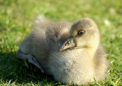 """Who called me an ugly duckling?"" (SteveJM2009) Tags: park uk light baby sun colour cute beauty grass june focus dof sweet bokeh head beak fluffy down goose dorset gosling poole anseranser stevemaskell greylag 2013"