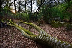 Remarkable tree. (O.Blaise) Tags: tree nature forest photo site oak stage formation trail promenade arbre sentier ballade fort fontainebleau tourisme remarkable massif chne forestier remarquable denecourt
