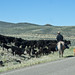 Driving cattle in Western Montana