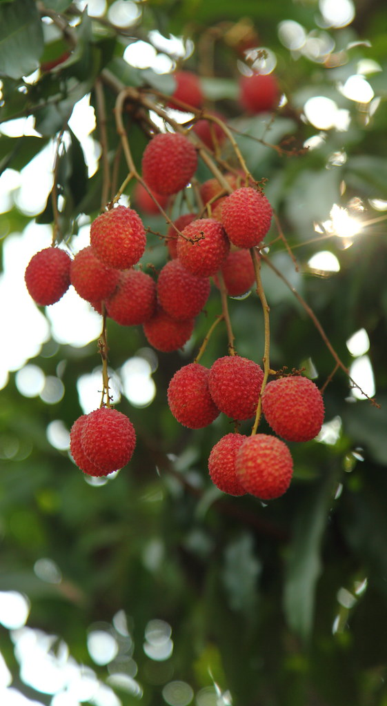 The World's Best Photos of lychee and pink - Flickr Hive Mind Leeches Fruit Tree
