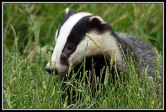 Badger (Buzzard2001) Tags: