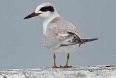 Forster's Tern (PaBirder1974) Tags: bird birds virginia gulls cannon delaware atlanticocean shorebirds terns bombayhook forsterstern forestersterns chincoteaguenationalwildliferefuge bombayhooknationalwildliferefuge cannotnt3i