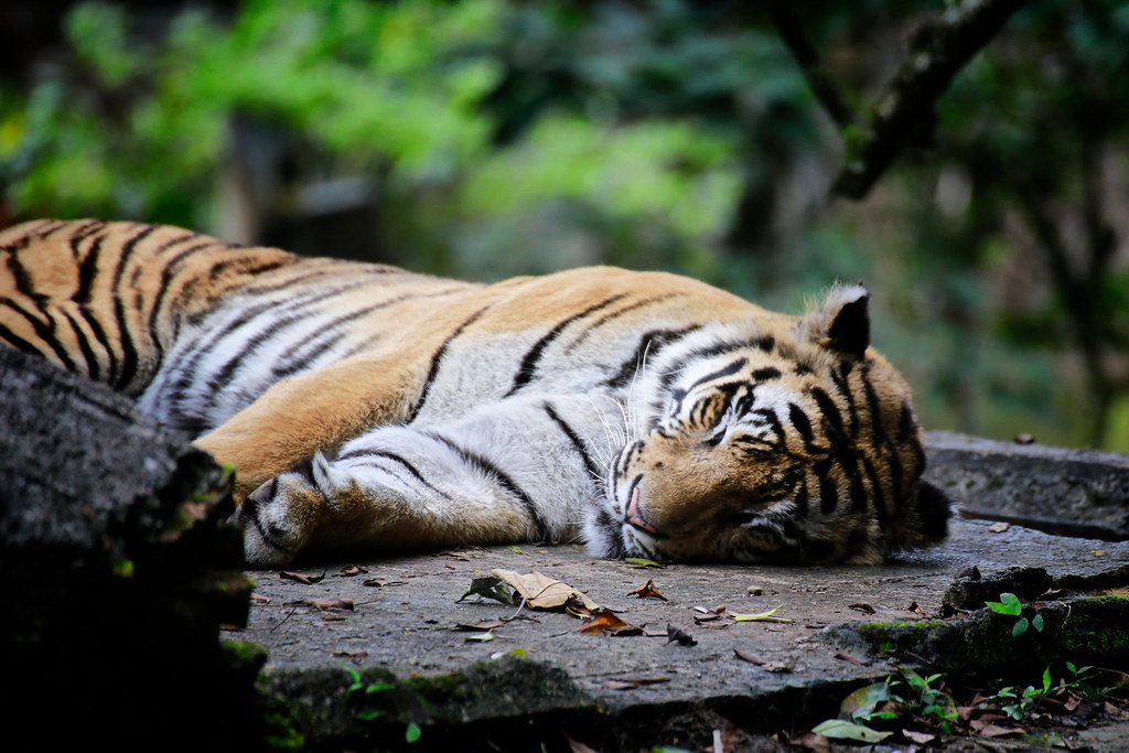 The World's Best Photos of elang and harimau - Flickr Hive Mind