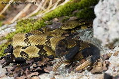 Crotalus horridus (Kevin Stohlgren) Tags: timber sony northcarolina mating rattlesnake ssm a77 timberrattlesnake crotalus horridus sal70400g 70400g