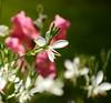 Graslilie (mayflower31) Tags: flower wiese bloom blume blüte spargelgewächs