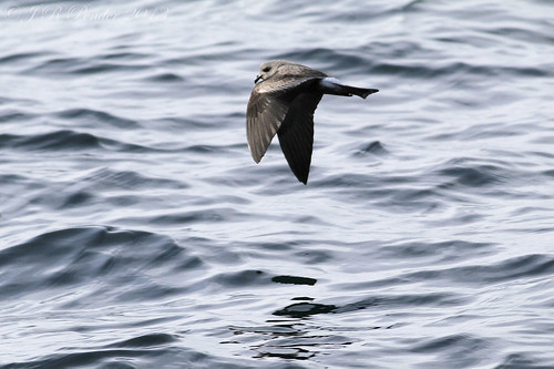 """Leach's Petrel, Scilly Pelagic (J.Pender) • <a style=""""font-size:0.8em;"""" href=""""http://www.flickr.com/photos/30837261@N07/9901828245/"""" target=""""_blank"""">View on Flickr</a>"""