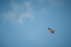 Milvus migrans (macropoulos) Tags: blue sky kite black bird flying wings aves raptor predator animalia birdofprey milvus migrans accipitridae chordata canoneos5d vertebrata accipitriformes samyang500mmf63mirrorlens