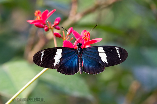 Heliconus Sara Butterfly