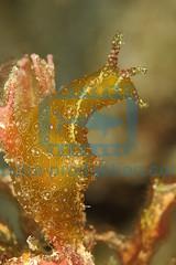 2011-04 HERBLAND MARTINIQUE PETALIFERA RAMOSA 1235