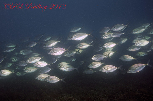 School of Trevally.