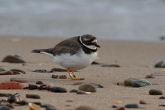 Ringed Ringed. (stonefaction) Tags: nature birds scotland angus wildlife plover ringed faved carnoustie