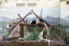 Po at Zoo Atlanta 2013-11-19 (kuromimi64) Tags: bear atlanta usa america georgia panda po giantpanda zooatlanta