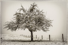 Celui qui aurait voulu tre un sapin de Nol (Narzouko) Tags: winter snow tree canon fence switzerland suisse hiver neige canon50f14 50 arbre ch 5014 barrire grosdevaud canon5dmkii 5d2 nzk narzouko