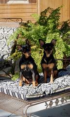 (Hillary Wolfe) Tags: park dog outdoors florida penny miniaturepinscher min minpin dogportrait rhyley