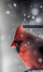 thinking of you (nosha) Tags: winter usa snow bird nature beautiful beauty birds newjersey nikon bokeh nj mercer mercercounty pennington penningtonnj nosha birdbokeh slowflake