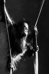 Orangutan's Business (Jo Bowman) Tags: blackandwhite baby canon zoo chester climbing orangutan ropes 60d silverefexpro2 canonlensefs55250mm jobowman2014