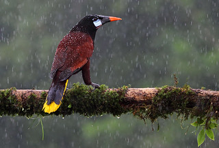 Oropendola in the rain
