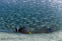 Escorts (bodiver) Tags: hawaii ambientlight wideangle freediving kona fins kailua surgeonfish akule baitball