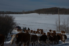 Winter Cattle Drive (Storm Farm) Tags: road winter snow rural google flickr cattle conditions cattledrive vision:mountain=0578 vision:outdoor=099 vision:ocean=0637 vision:clouds=0503 vision:sky=0781
