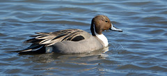 pintailmale (peggycadigan) Tags: greatblueheron pintail surfscoter redbreastedmerganser gullwithstarfish