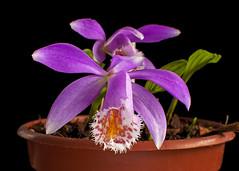 Pleione Britania Doreen (Ramsis'07) Tags: red orchid flower purple orchidaceae pleione flowerwatcher pleionebritaniadoreen