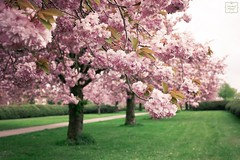 * Pink spring * (AndreaKamal.com) Tags: pink flowers nature germany spring hamburg natur seasonal blossoms cherryblossom sakura frühling blüten ساكورا japanischekirschblüte fiorediciliegio