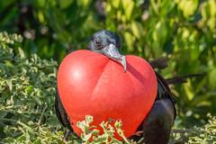 Wearing his heart on his chest (Kathy~) Tags: galapagos frigatebird frigate red bird ecuador matingseason black genoveseisland ecoventura eric favescontestwinner superherochallengeswinner fc 15challengeswinner