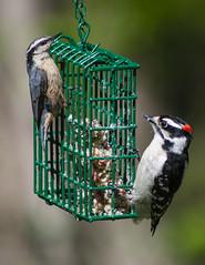 birds fauna downywoodpecker maine birdfeeder brunswick suet redbreastednuthatch