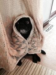 Bug pug (literally) (RubyWhatever) Tags: dog colorado pug email littleton purcy