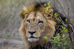 IMG19484 (Arno Meintjes Wildlife) Tags: africa bird nature animals southafrica lion safari krugerpark kruger pantheraleo arnomeintjes weldlife