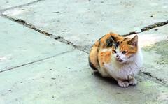 Cat in Darake Tehran