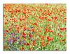 Pinceladas (jacilluch) Tags: corn ps poppy rosella coquelicot papaver ps3 poppys amapolas amapola papavero papoula adormidera ababol mitxoleta papuel