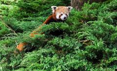 Day 132 (Wouter de Bruijn) Tags: cute zoo rotterdam blijdorp firefox redpanda cuddly fujifilm 365 132 lesserpanda xt1 redcatbear fujinonxf35mmf14r
