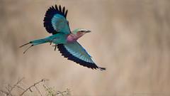 Lilac-breasted roller (Raymond J Barlow) Tags: africa bird tanzania wildlife ngc roller birdinflight visipix raybarlowworkshops raymondbarlowphototours