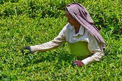 India - Kerala - Munnar - Tea Picking - 22 (asienman) Tags: india mountains kerala hills teafactory teaplantation munnar teapicker asienmanphotography teaplantagens
