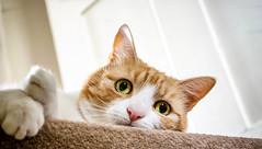 Stair Stare (cuppyuppycake) Tags: ginger cat pet stairs stare portrait happy sneaky frisky