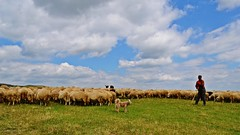 Places, people and things (Zsofia Nagy) Tags: flickrlounge weeklytheme landscape sheep dog grazing herd herdofsheep tordaihasadk cheileturzii erdly transylvania romania