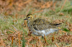 DSC4208 Golden Plover.. (jefflack Wildlife&Nature) Tags: goldenplover plovers plover birds avian wildlife wildbirds waterbirds wetlands waders moorland heathland estuaries countryside coastalbirds nature