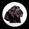 IMG_6204 (Fotometz) Tags: hund tier anblick animals aufmerksam background betteln bettelne blick braun dog dogs eckzahn pelz pet pets schauend schwarz säugetier welpe white wissbegierig